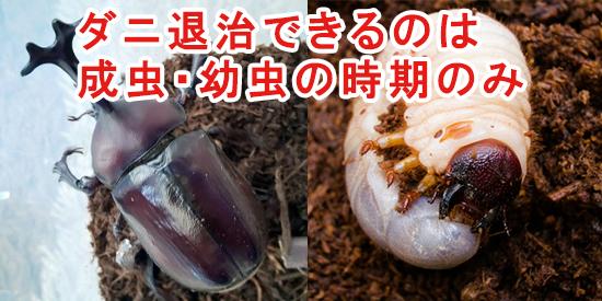 ダニを退治できるのは、成虫と幼虫の時期のみ