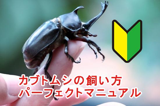 カブトムシの飼育スケジュール、飼育に必要なものを紹介
