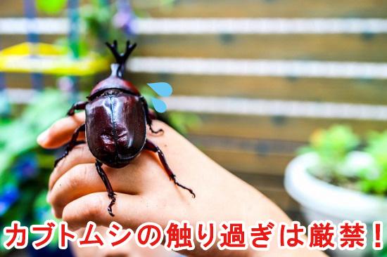 カブトムシの触り過ぎは厳禁